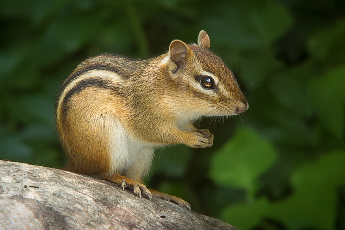 chipmunk v2 yard_43G3303