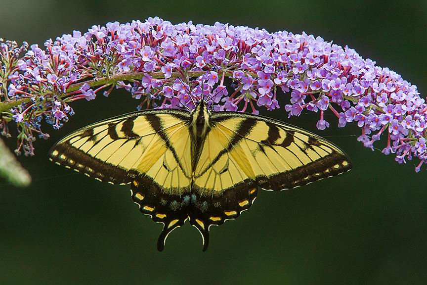 Eastern Tiger Swallowtail v1 yard_43G2842