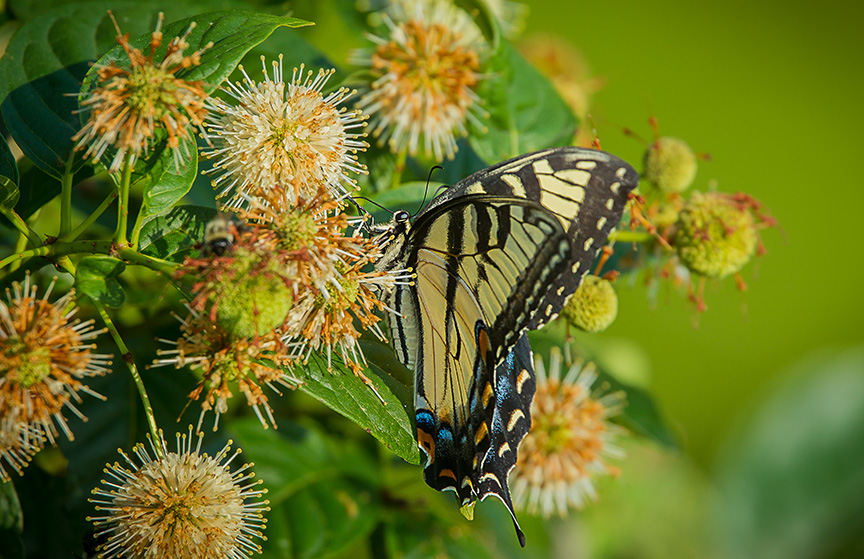 Eastern Tiger Swallowtail v1_43G2432
