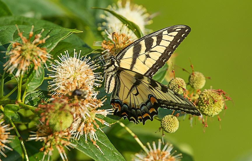 Eastern Tiger Swallowtail v1_43G2464
