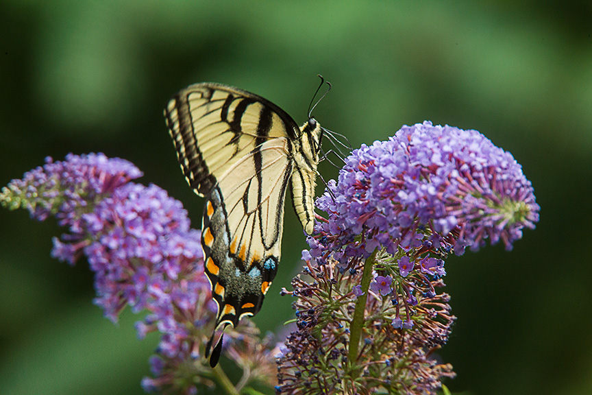 Eastern Tiger Swallowtail v1_43G2755