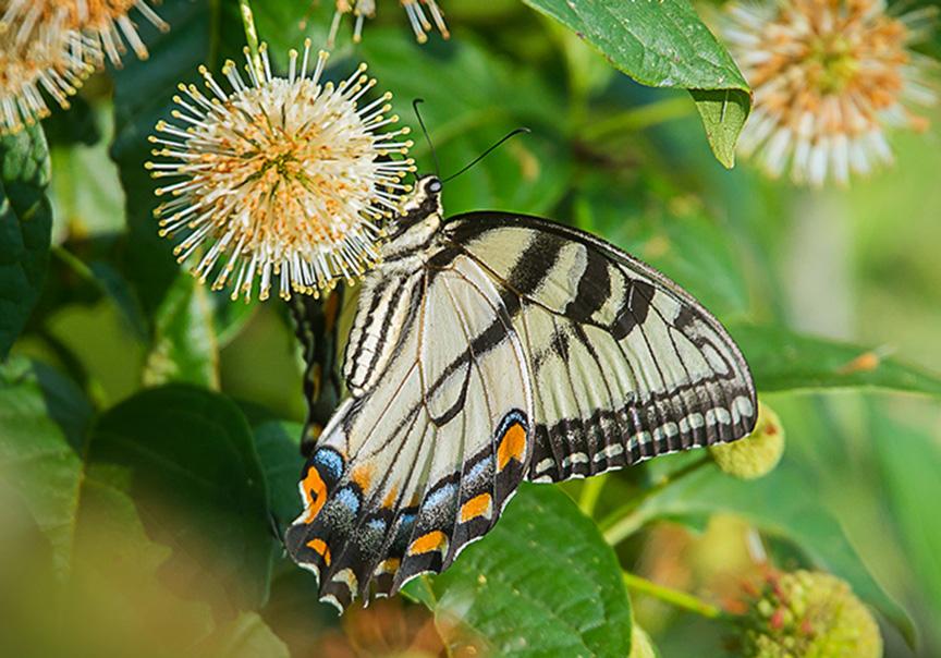 Eastern Tiger Swallowtail v2 cf_43G2405