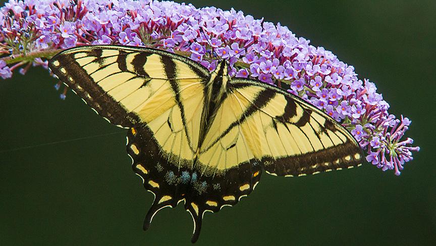Eastern Tiger Swallowtail v2 yard_43G2856