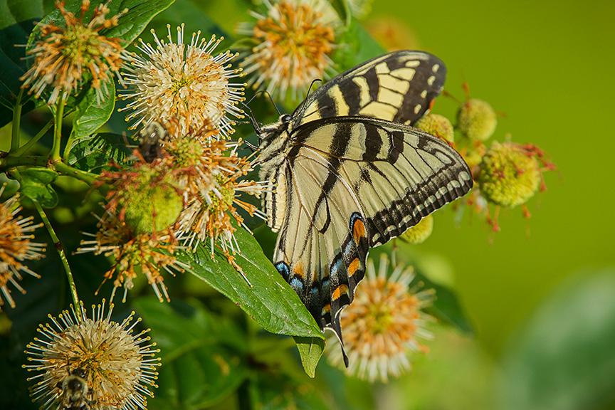 Eastern Tiger Swallowtail v3_43G2446