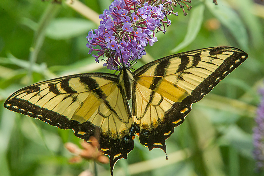 Eastern Tiger swallowtail v3_43G3352