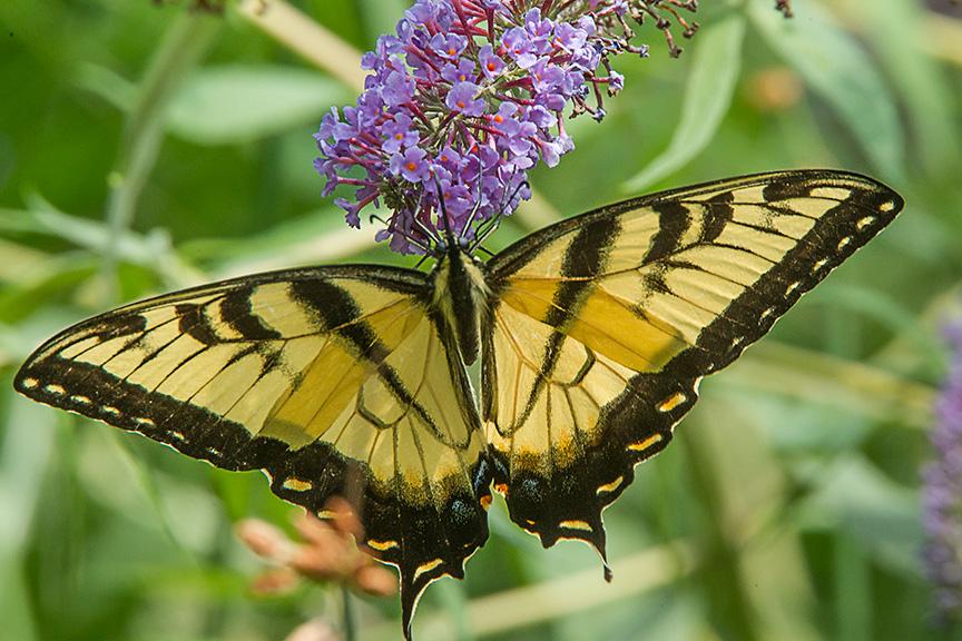 Eastern Tiger swallowtail v3_43G3352