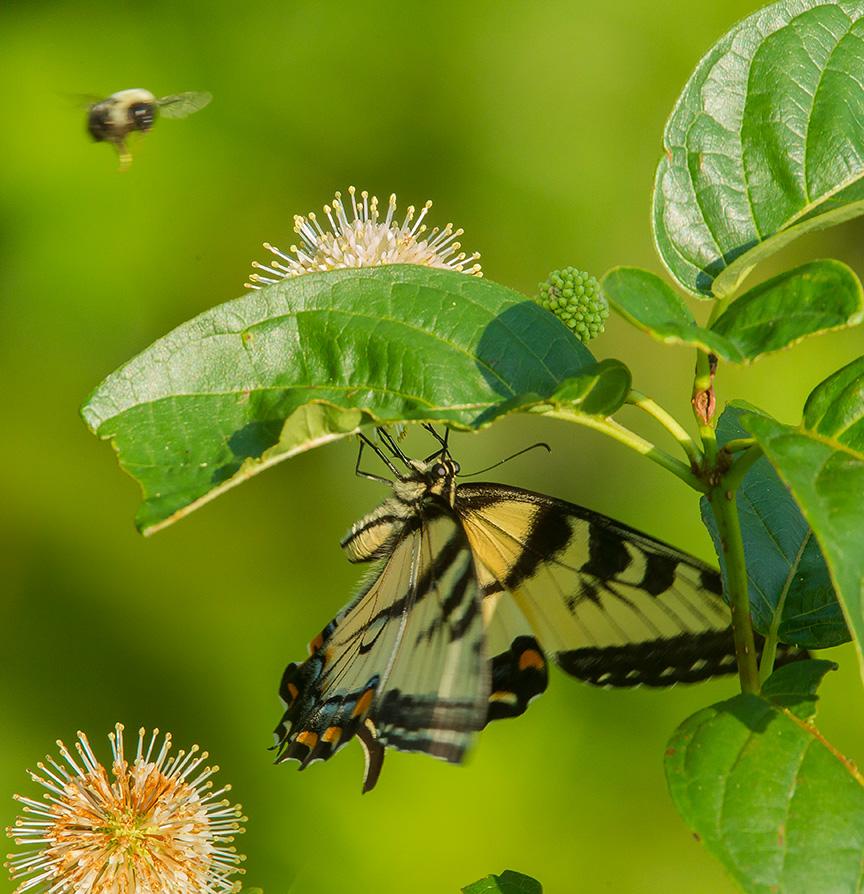 Eastern Tiger Swallowtail v3_cf 43G2361