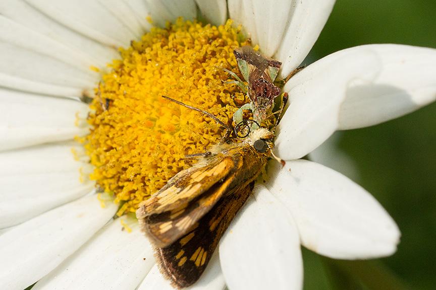 yard bug eat moth v2_43G5135