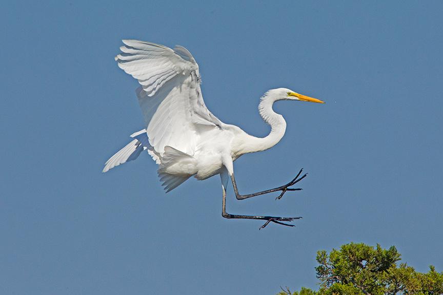 10 Great Egret Landing v2 Brig 2015_43G0176