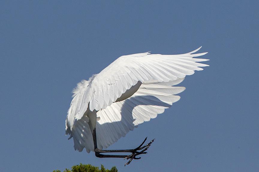 12 Great Egret Landing v1 Brig 2015_43G0178