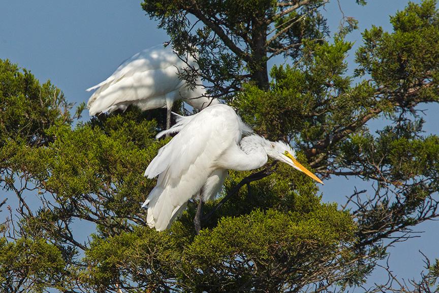 13 Great Egret Landing v2 Brig 2015_43G0254