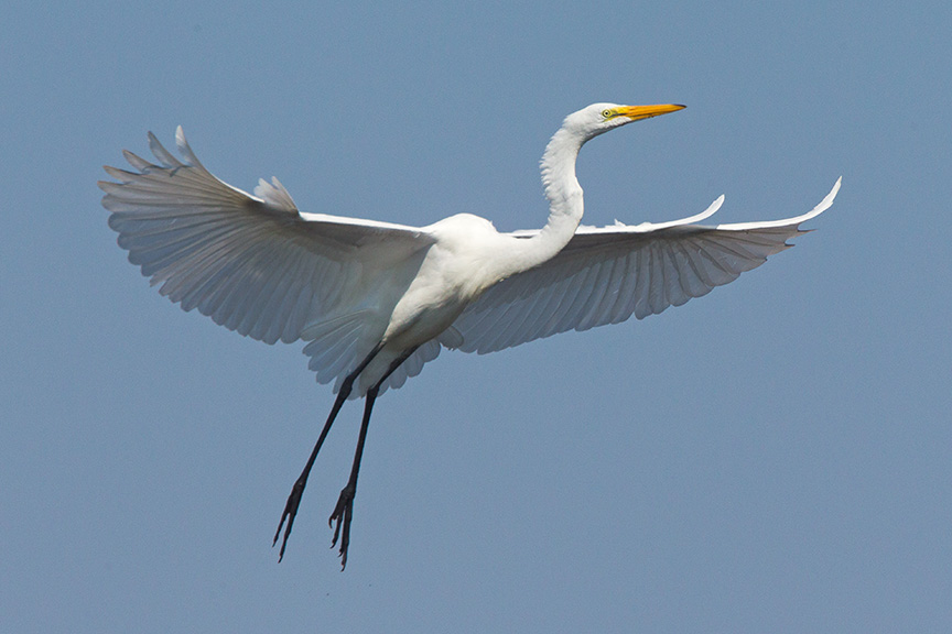 great egret landing sequence photoartflight