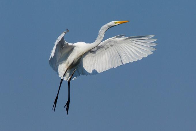 3 Great Egret Landing v2 Brig 2015_43G0169