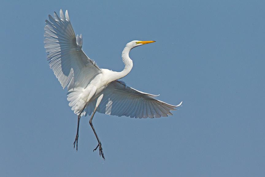 5 Great Egret Landing v1 Brig 2015_43G0171