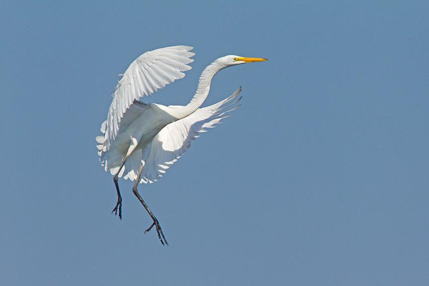 6 Great Egret Landing v2 Brig 2015_43G0172