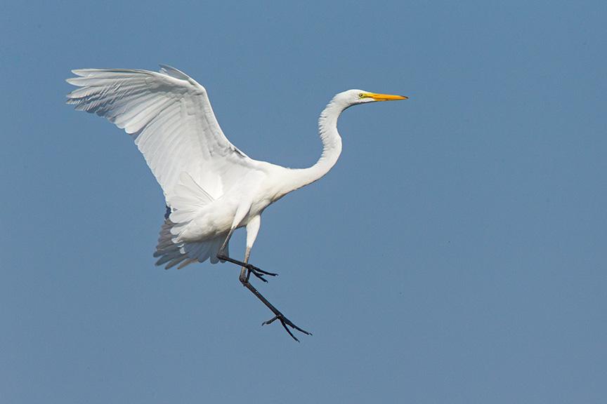 7 Great Egret Landing v1 Brig 2015_43G0173