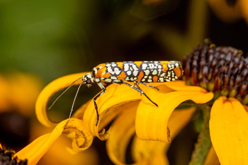ailanthus webworm moth v1 yard_43G7222