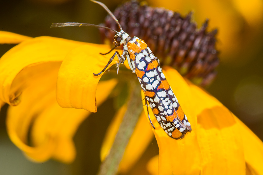 ailanthus webworm moth v1_43G7240