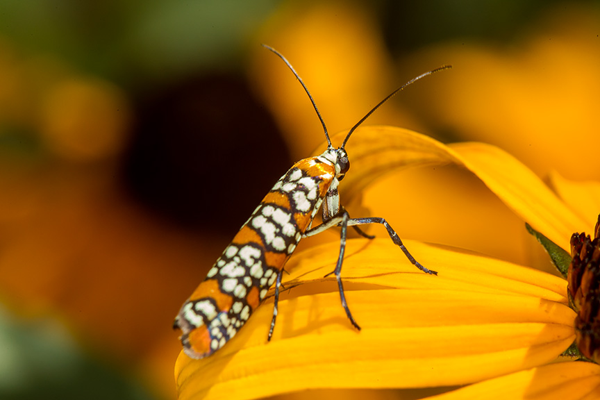 ailanthus webworm moth v1_43G7246