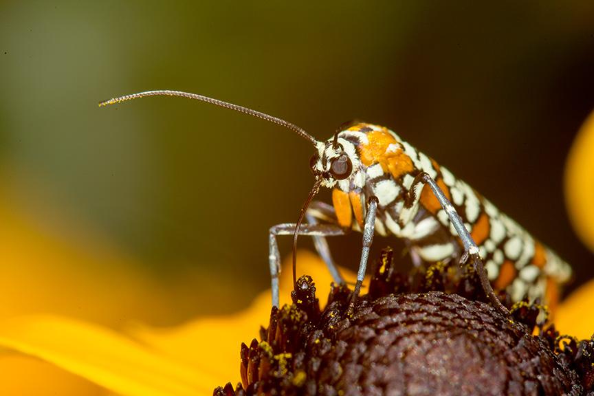 ailanthus webworm moth v1_43G7278