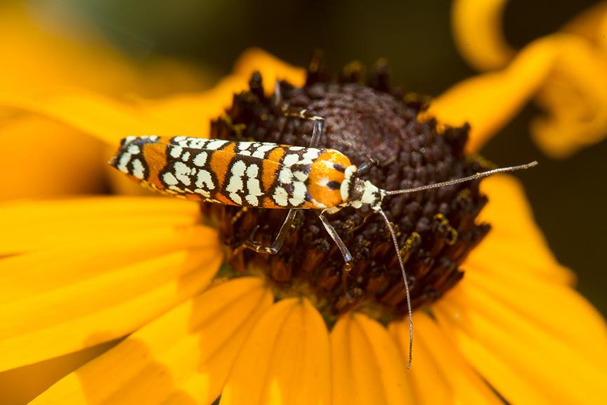 ailanthus webworm moth v1_43G7288