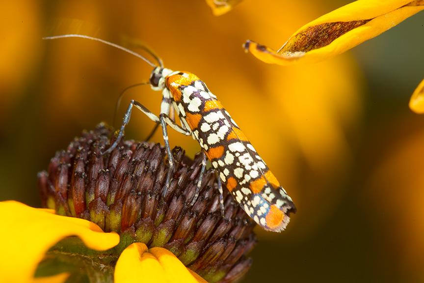 ailanthus webworm moth v1_43G7300