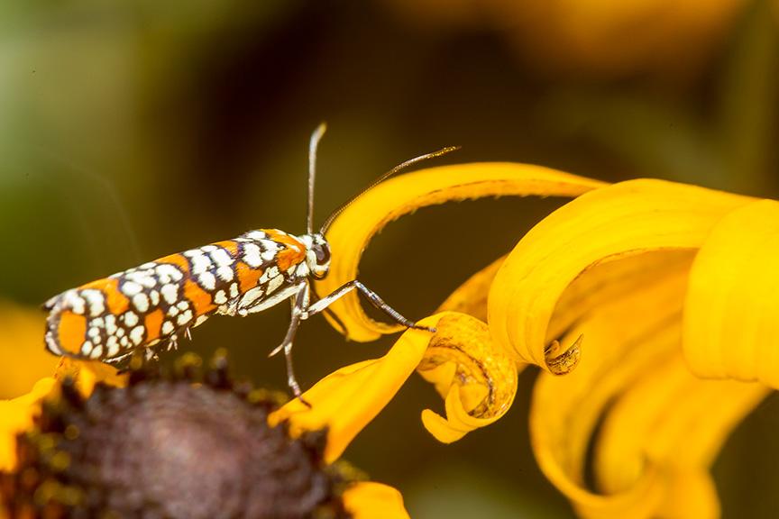 ailanthus webworm moth v2 yard_43G7235