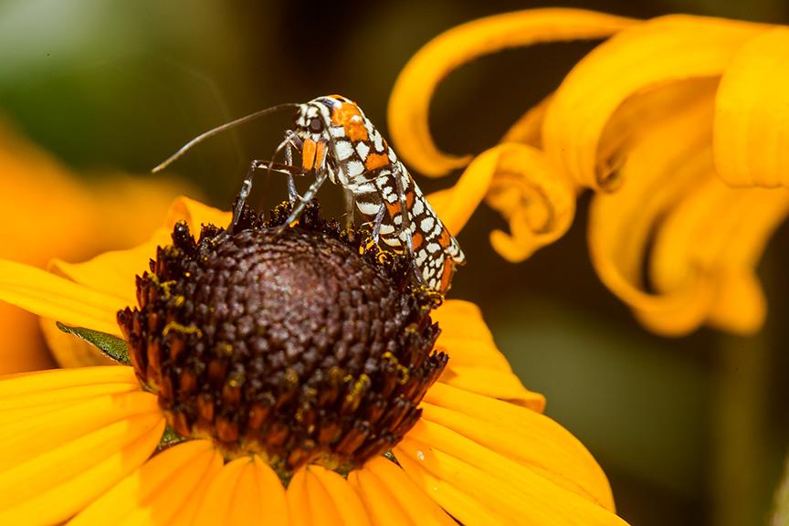 ailanthus webworm moth v2_43G7241