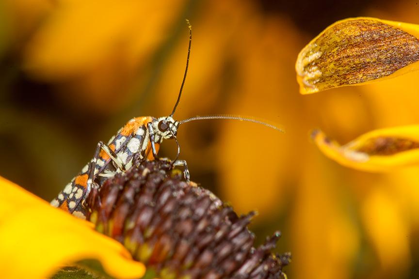 ailanthus webworm moth v2_43G7250