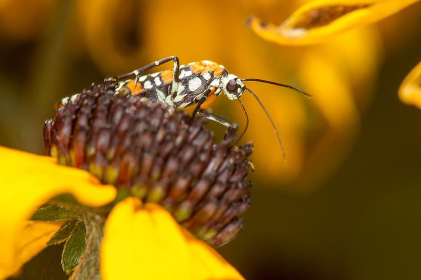 Ailanthus Webworm Moth Photoartflight