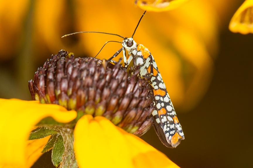 ailanthus webworm moth v2_43G7259