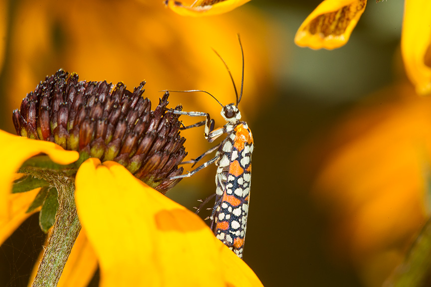 ailanthus webworm moth v2_43G7271