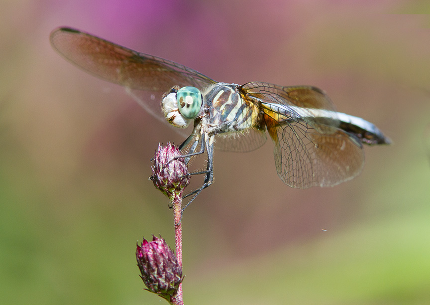 Blue Dasher cf v1 2015_MG_9091