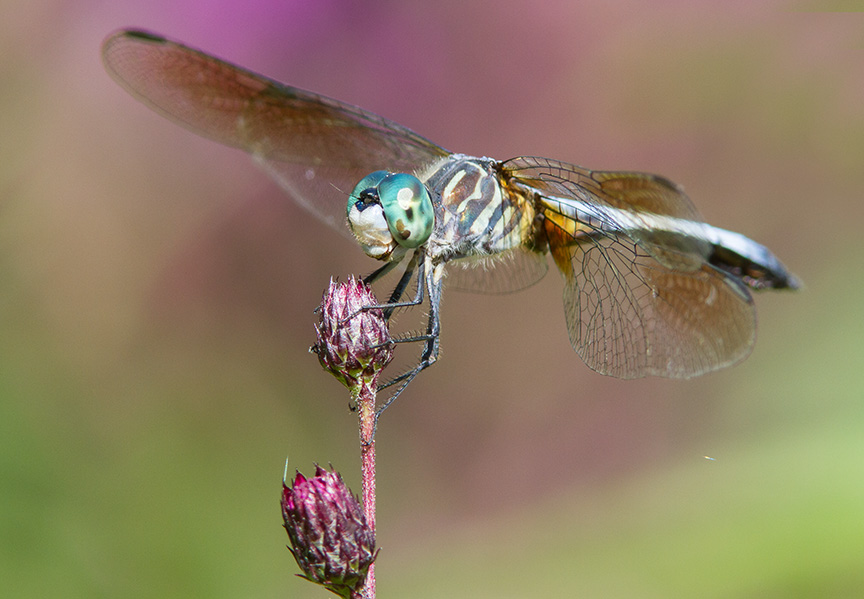 Blue Dasher v2 cf 2015_MG_9085
