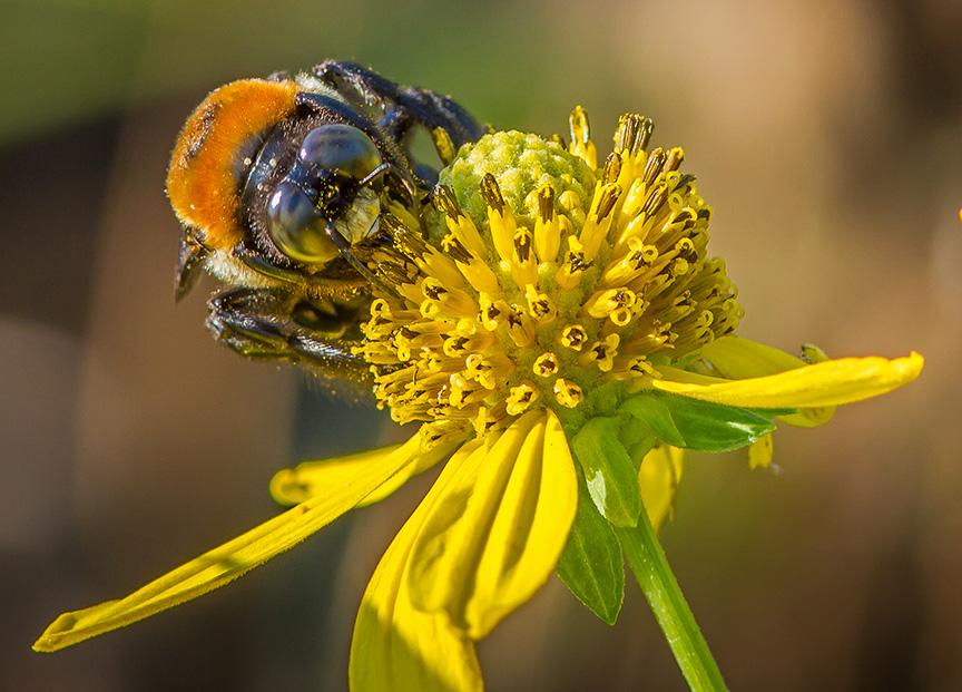 Eastern Carp Bee v3 brig 2015_MG_0230