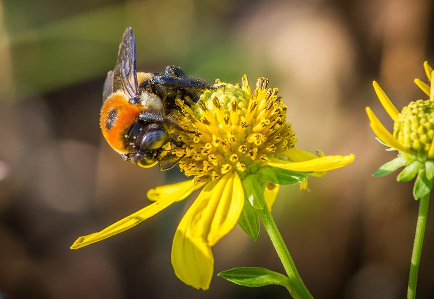 Eastern Carpenter Bee v3_MG_0235