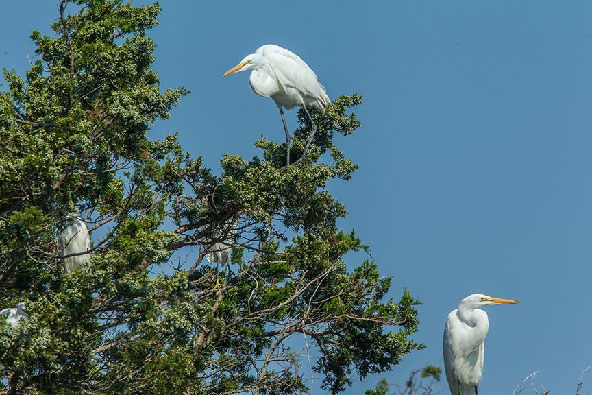 Egrets Tree v1_43G0202
