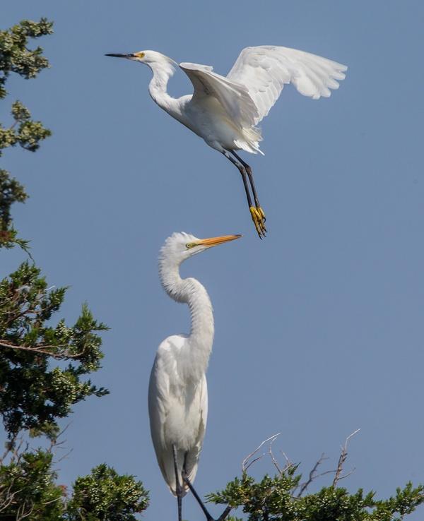 Egrets v2 brig 2015_43G0078
