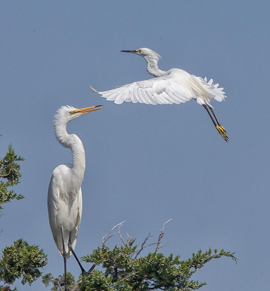 Egrets v4 brig 2015_43G0077