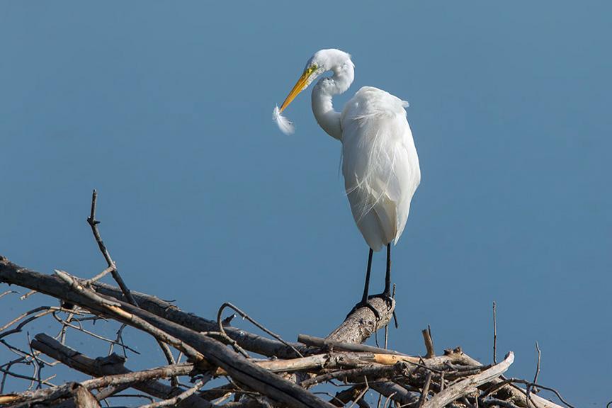 Great Egret cf v10 2015_43G7996