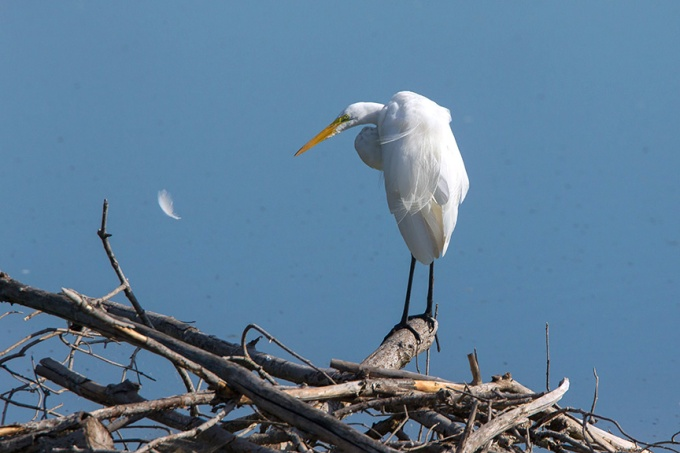Great Egret Cf v10 2015_43G7997