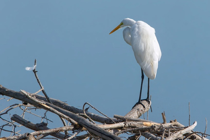 Great Egret cf v10_43G7998