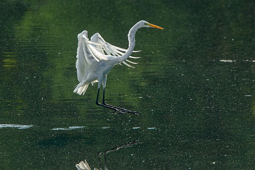 Great Egret Landing In Morning Sun Photoartflight