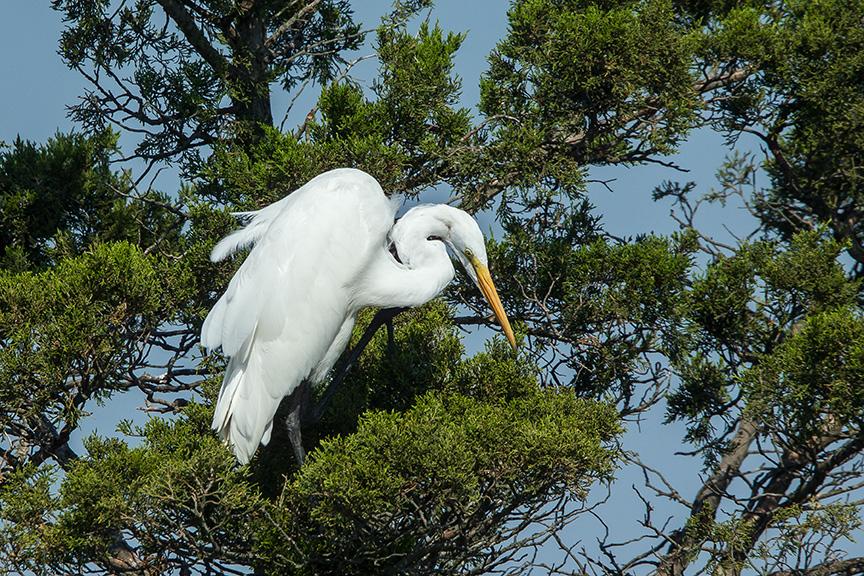 Great egret v2 brig 2015_43G0137