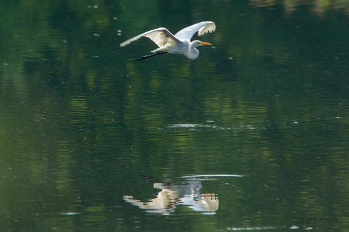Great Egret v2 cf 2015_43G2057