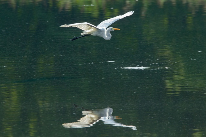 Great Egret v2 cf 2015_43G2061