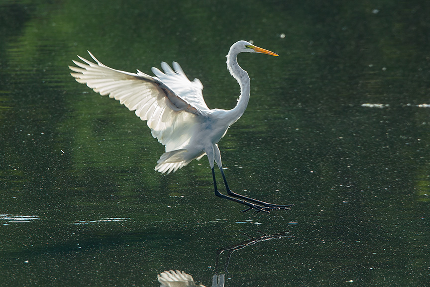 Great Egret v2 cf 2015_43G2080