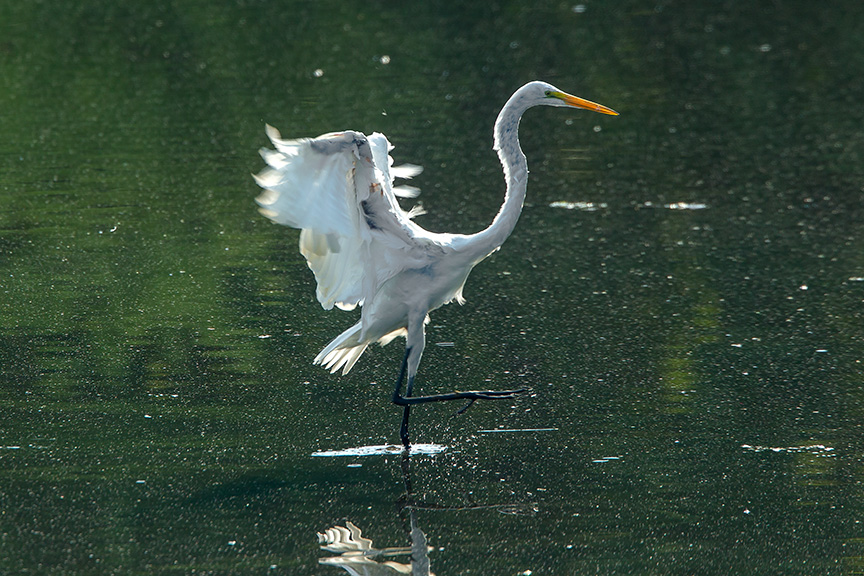 Great Egret v2 cf 2015_43G2082