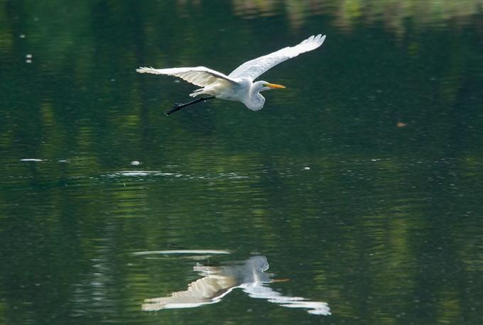 Great Egret v3 cf 2015_43G2058