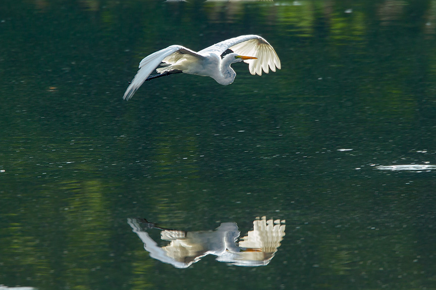 Great Egret v3 cf 2015_43G2060